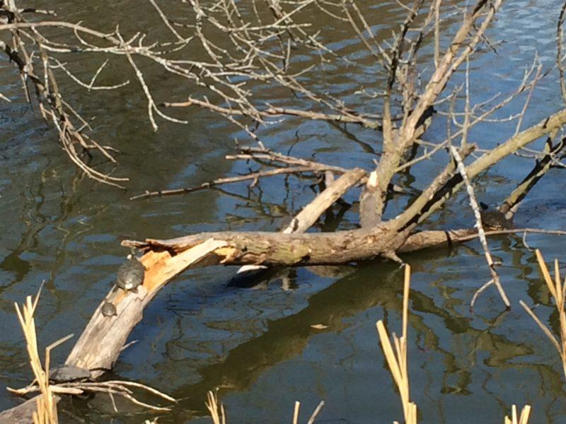 Turtles in North Pond